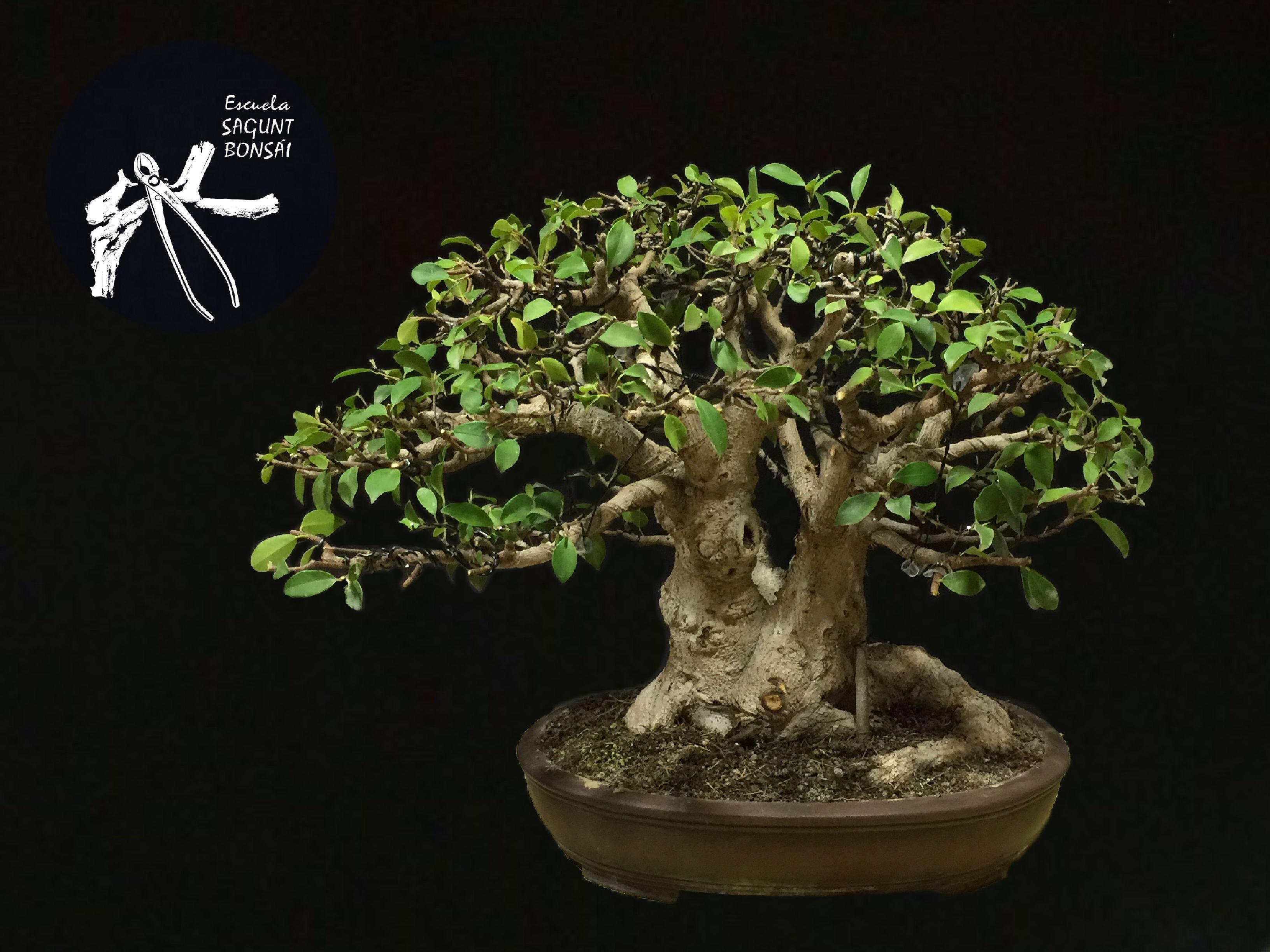 Ficus retusa escuela sagunt bons i - Cultivo de bonsai ...